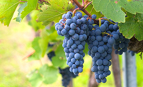 Closeup of grapes in a vineyard